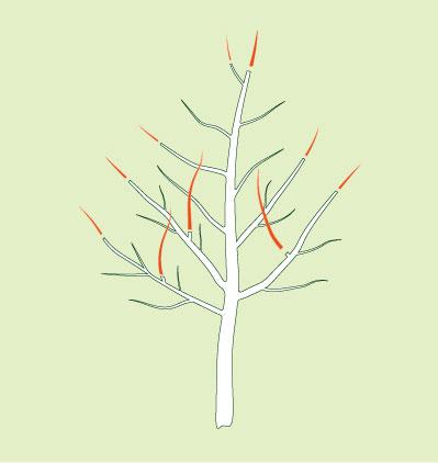 Obstbaum Erziehungsschnitt