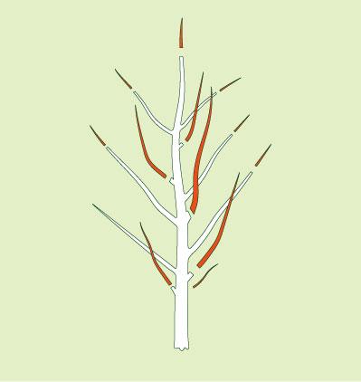 Obstbaum Pflanzschnitt