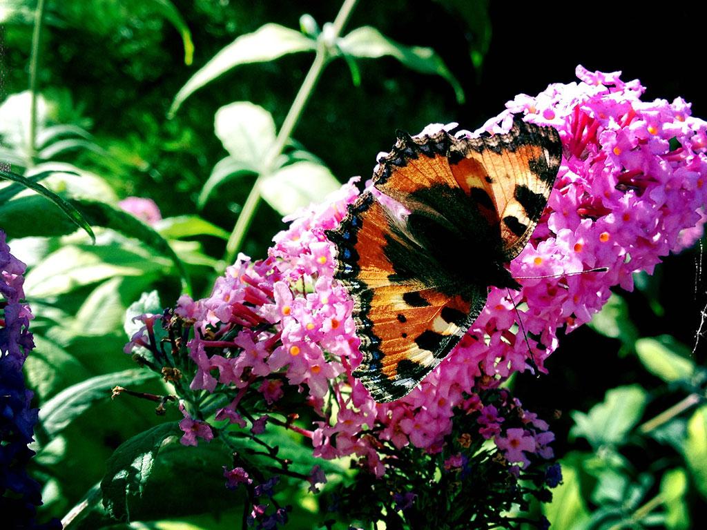 Kleiner Fuchs im Schmetterlingsgarten