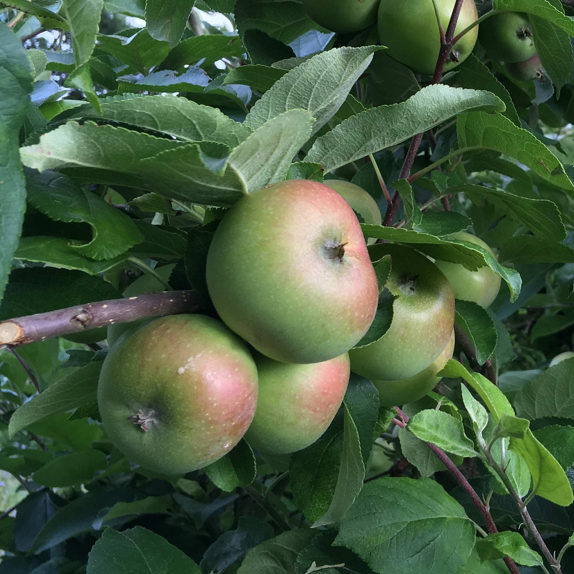 Obstbäume benötigen regelmäßige Pflege und Rückschnitt