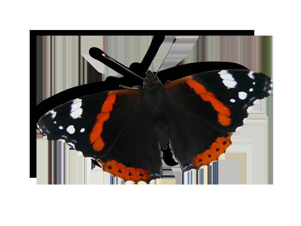Schmetterlingsgarten Admiral